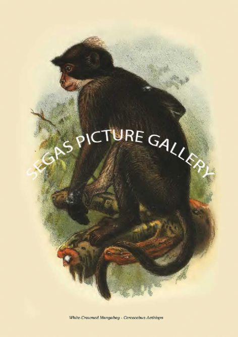 Fine art print of the White-Crowned Mangabey - Cercocebus Aethiops by Henry Ogg Forbes (1897)